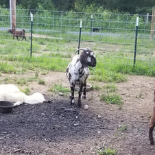 June Bug protectiner her Boer billy goats.