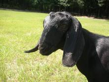 Luv em all acres lacey mini nubian goat.