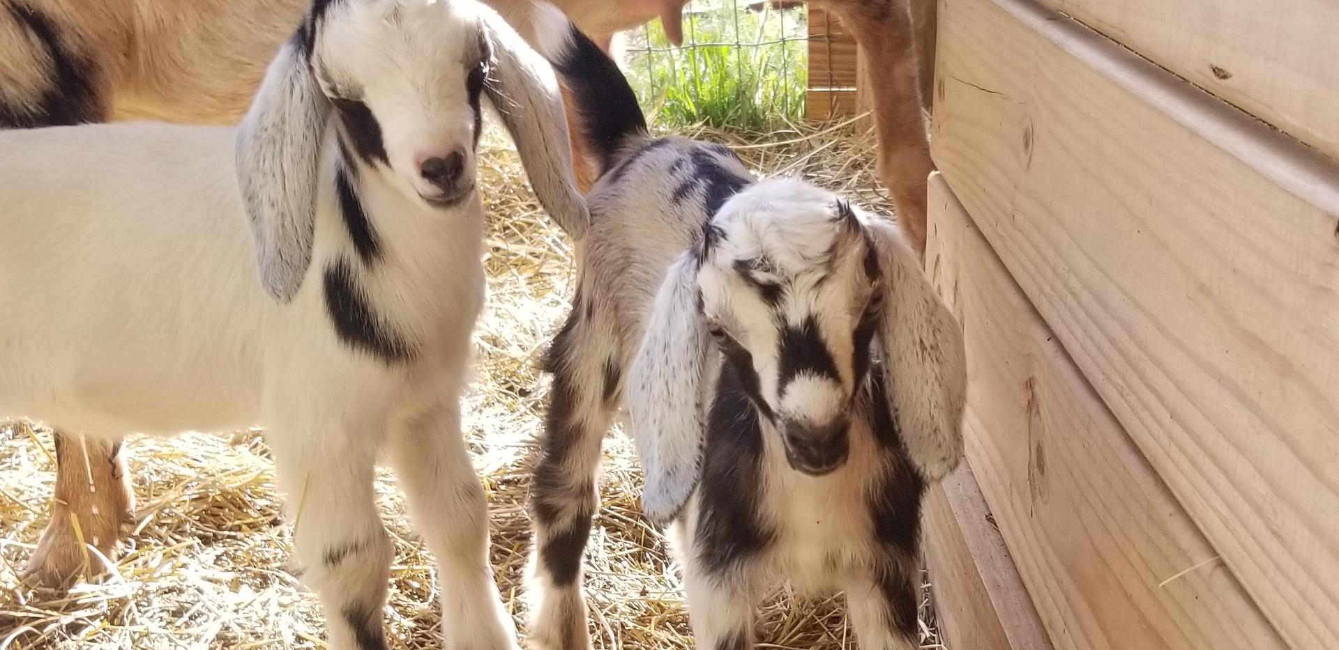 F5 Nubians cotton bean goat farms.jpg