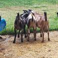 Got Goat Milk?