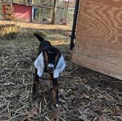 emilee frosted ears baby goat sale.jpg