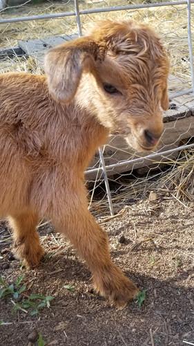 Brown Nigerian Dwarf Baby goat.jpg