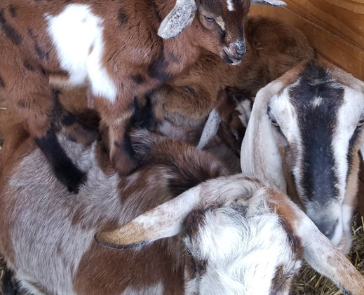 moonspotted goat for sale mt pleasant nc