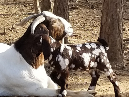 Wow, Lilith can you have a more perfect dappled Boer doeling / baby goat?