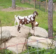 Our little beautiful registered Dottie boer doe was a Valentine baby, 2/14/ 2019. She is a beautiful red and white dappled boer doeling with Max Boer lineage. We picked this beautiful specimen of a boer goat up at a NC Boer Goat auction.  It was love at first sight for us. When we got her home we could quickly tell she had never had human contact. This made it hard to do general hoof maintenance or even check a famacha on this sweet little boer goat. Not to mention, the trama it caused having to chase her down to do any of these things. I would sit with her for hours on end. I tried bribing her with treats and that didn't work. After a few weeks we could tell she had a worm load, she wasn't really eating and body her condition was quickly headed to a bad place.  At this point she had no choice but to be touched.  I was forced to hold her and treat her. I would stuff a small piece of fig newton in her mouth, love on her for a few minutes and sit with her afterwards. I brought her warm molasses water a few times a day and she began to come over and drink it with me standing beside her. This was HUGE for her! I gave her alpha, red cell, pro bios, spinach, carrots and fresh oranges daily. I refused to loose my Dottie girl! After weeks of this regimen and lots of prayers she was on the mend. Her body condition was improving and she decided we could be friends. I am happy to report she now loves me as much as I love her!  I am looking forward to breeding her in 2020 and meeting her beautiful kids.   Note: Raising goats is NOT easy despite what people will tell you. Invest time learning about nutrition, signs of worms and get to know your goats. You will need a goat medical closet on hand and you will need to become a part time vet. If something is off with your goat, take their temperature and check their famacha.  Our first vet didn't know anything about supportive care so over time I learned by joining forums and talking to other more experienced goat farmers.  If we ha