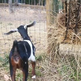 This F7 mini Nubian doeling is going to try out for Santa's Sleigh team this year