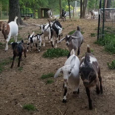 Watch our Goat Video's