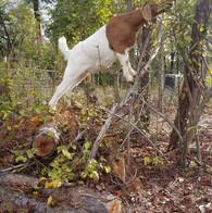 Boer goat doeling for sale NC.jpg