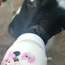 Setup a Baby Goat Playdate!