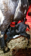 Moonspotted bottle baby goat norwood nc.