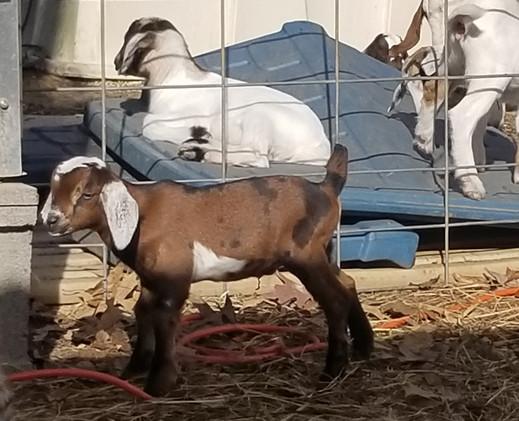 F2 Mini Nubian goat breeder NC.jpg