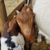 Blue eyed mini nubian buckling goat sale