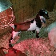 bottle baby nubian goat sale cotton bean