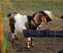 Foscoe mini Nubian buck sire breeder.jpg