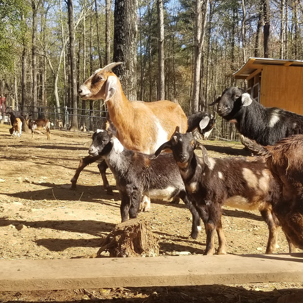 Mini nubian goats and baby goats