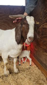 boer goat baby mt pleasant nc.jpg