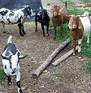 Cotton Bean Boer Goat Farm Sale