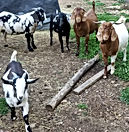 Cotton Bean Boer Goat Farm Sale