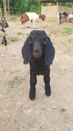 Black boer goat breeder cotton bean farm