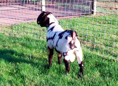 Max Boer goat dappled doe for sale.jpg