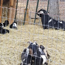 Bottle Baby Goats for Sale