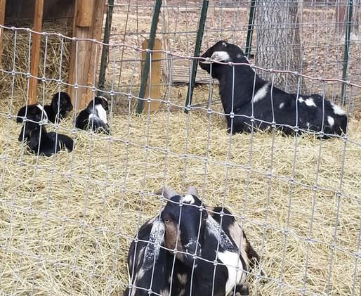 Mini Nubian goat breeder mt pleasant nc.