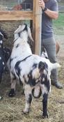 boer buck herd sire for sale cotton bean