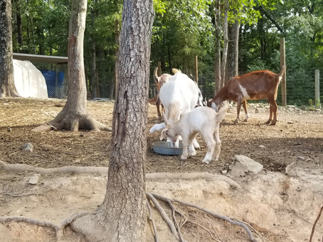 How can Abby's Boer / kiko baby goats be eating grain already?
