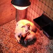 baby goats for sale girl nc.jpg