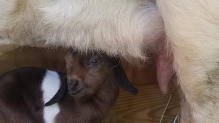 Cotton Bean Boer Goat Farm Sale.jpg