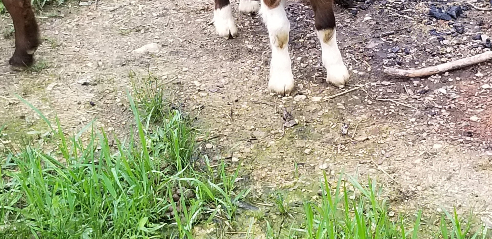 Baby goat for sale Midland NC.jpg