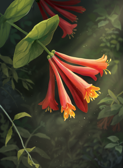 Honeysuckle_Final