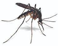mosquit.jpg