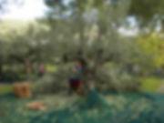 Olivenerne in Griechenland