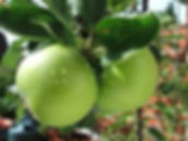 green apple 2.jpg