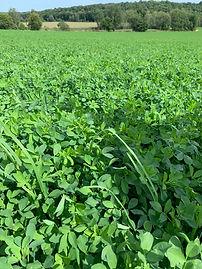 dominator alfalfa.jpg