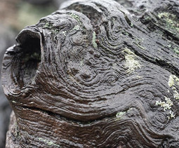 Knotted Oak - ancient Cadzow.  #clay #tr
