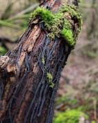 Black roots - Mycelium - Aberfoyle, Scot