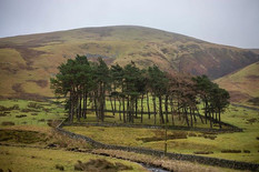Border post - a standing of Scots pine w