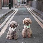 Poodles mit Bandana
