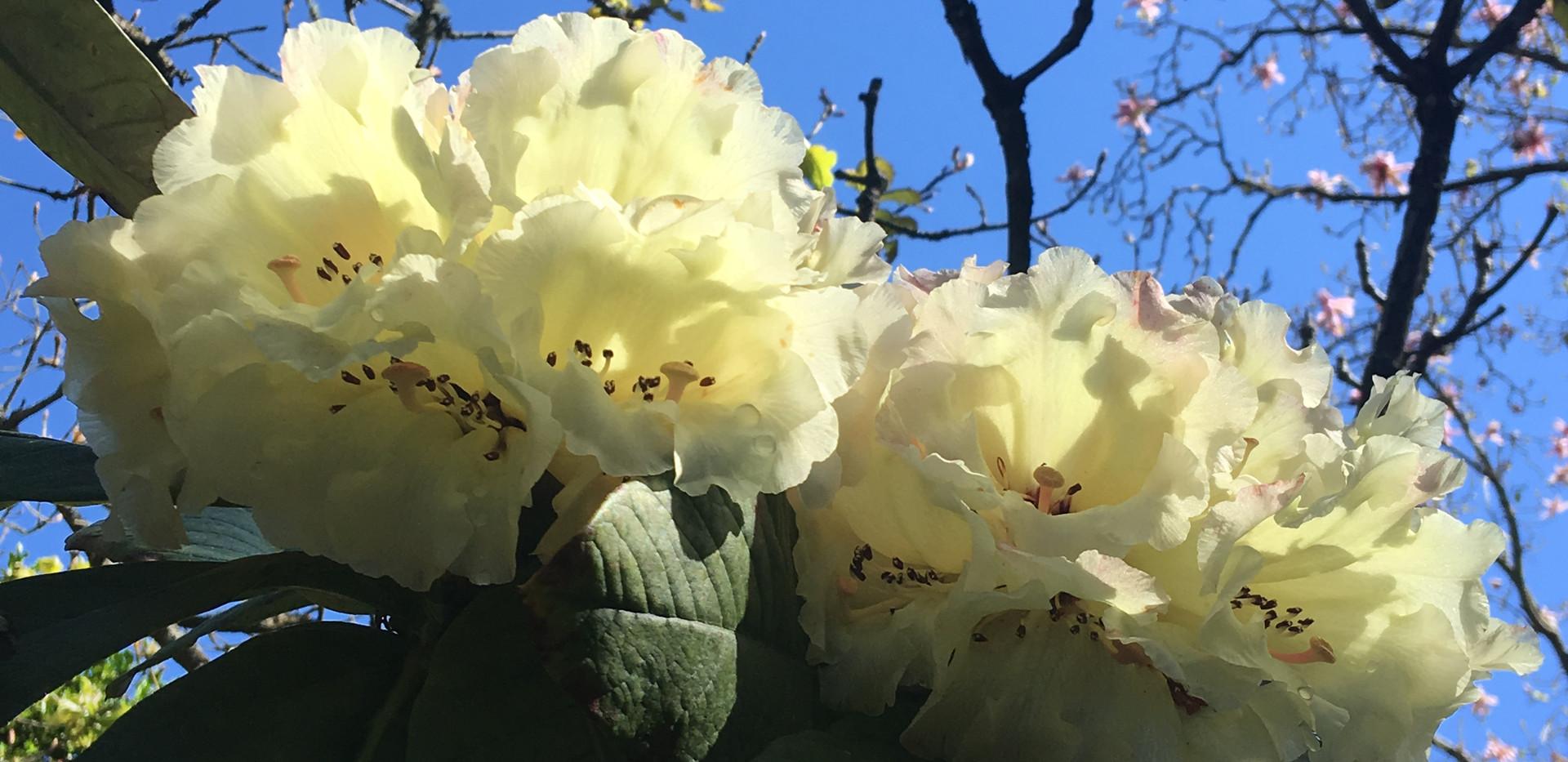 Rhododendron macabeanum flowers