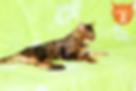 Gato Bengal - Gatil TomiFerr