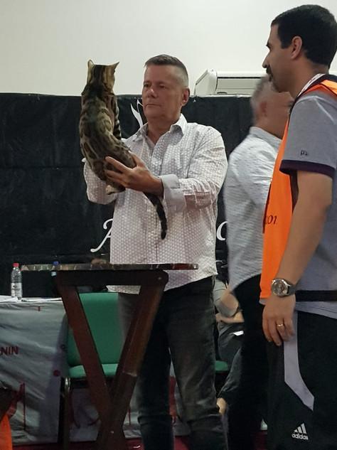 Gato Bengal