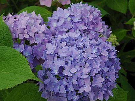 Endless Summer® Hydrangea flowers