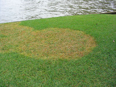 Identifying Florida Lawn Diseases Turf Masters Landscape Maintainence And Management Jacksonville Fl