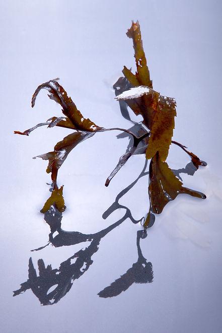 Seaweed Final.jpg