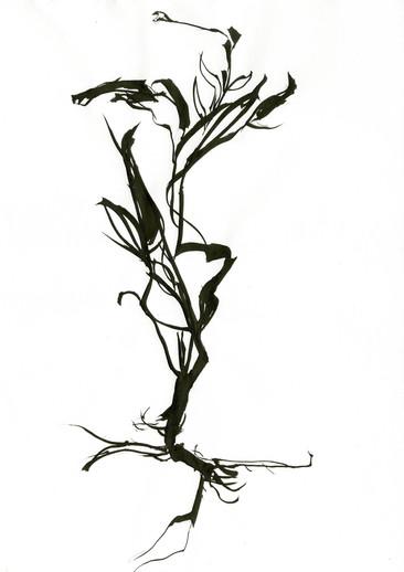 Vorlage / Tusche auf Papier / spezielles Herbarium Fukushima