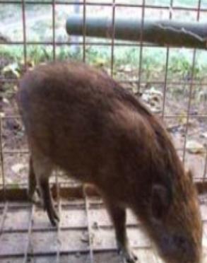【イノシカ(猪鹿)箱わな捕獲器】イノシシ捕獲