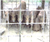 【イノシカ(猪鹿)箱わな捕獲器】多頭捕獲