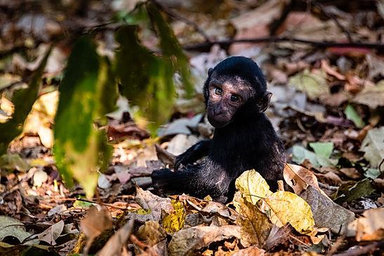 Juvenile Macaque - Tangkoko Nature Preserve